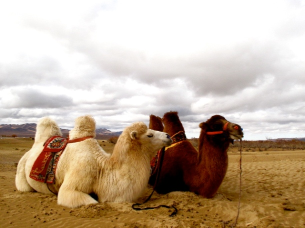 Camels - what funny, goofy-looking creatures. They make me laugh just by looking at them.